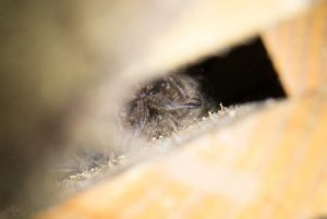 barbastelle-kent-bat-box-1